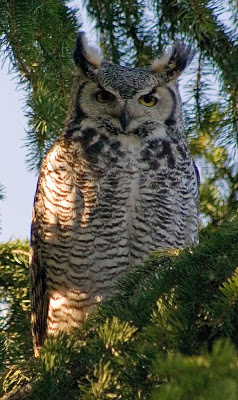 where do great horned owls live