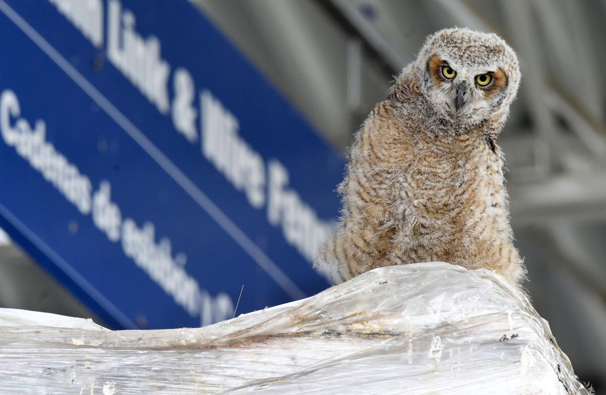 Great Horned Owl Symbolism