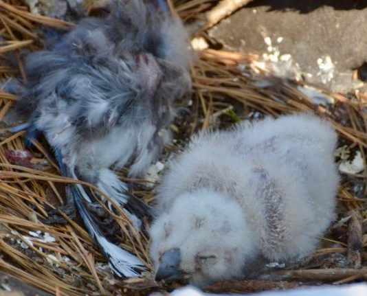 great horned owl baby facts