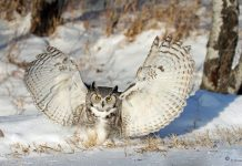 great horned owl wingspan