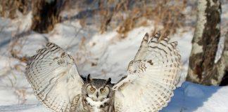great horned owl wingspan