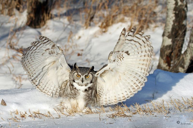 how much does a great horned owl weigh