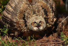 what does a great horned owl sound like
