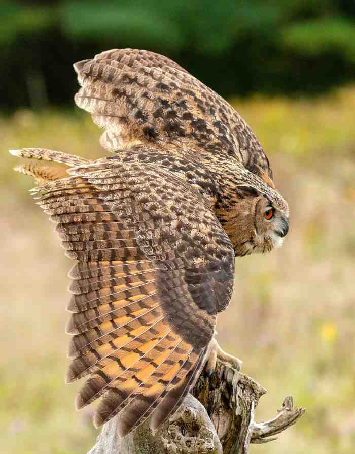 great horned owl interesting facts