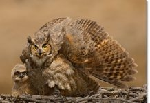 great horned owl predators