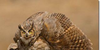 great horned owl predators