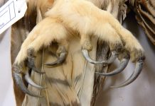 great horned owl talons