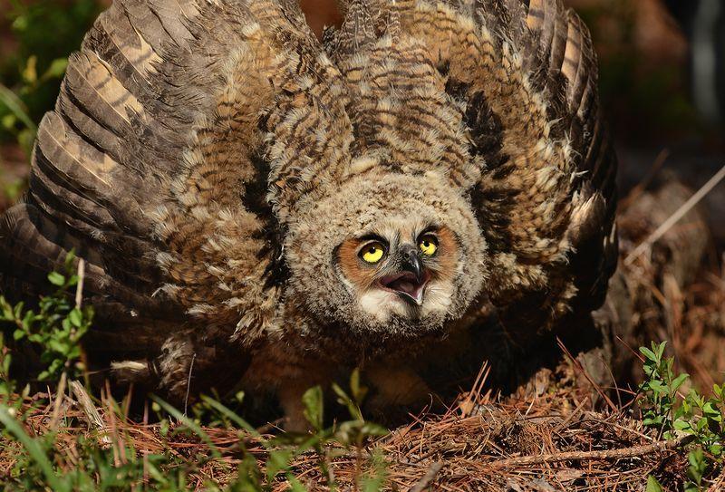 Where Do Great Horned Owls Live - Great Horned Owl Habitat ...