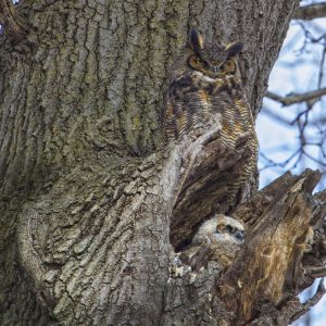 GREAT HORNED OWL ADAPTATIONS