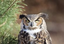 how tall is a great horned owl