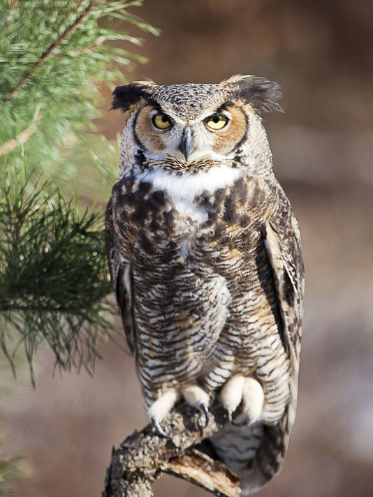 How Tall Is A Great Horned Owl Great Horned Owl Height Great