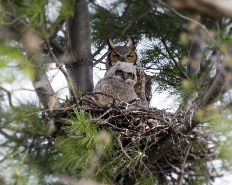 GREAT HORNED OWL HABITAT