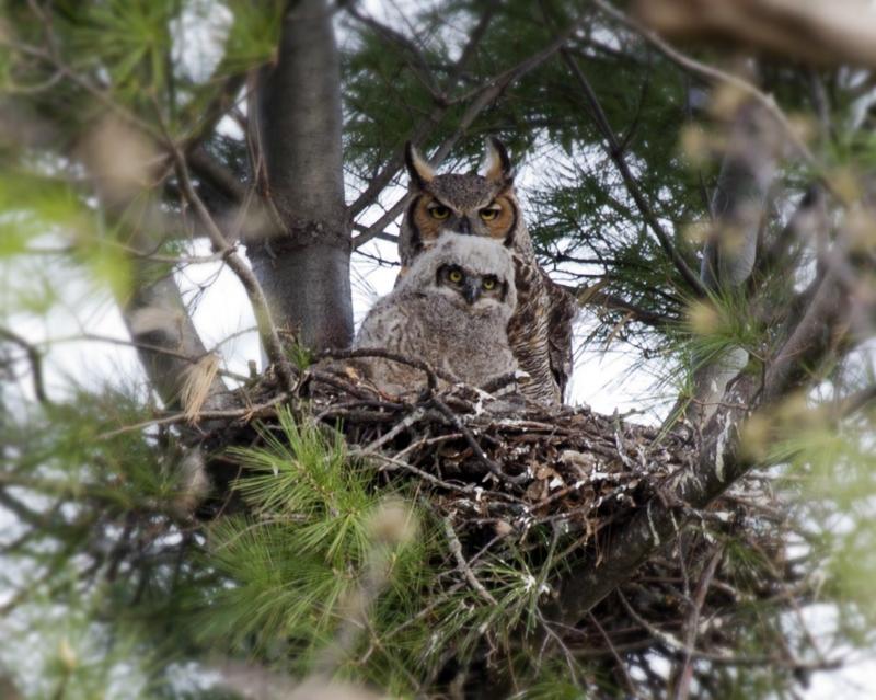 Where Do Great Horned Owls Live Great Horned Owl Habitat Great