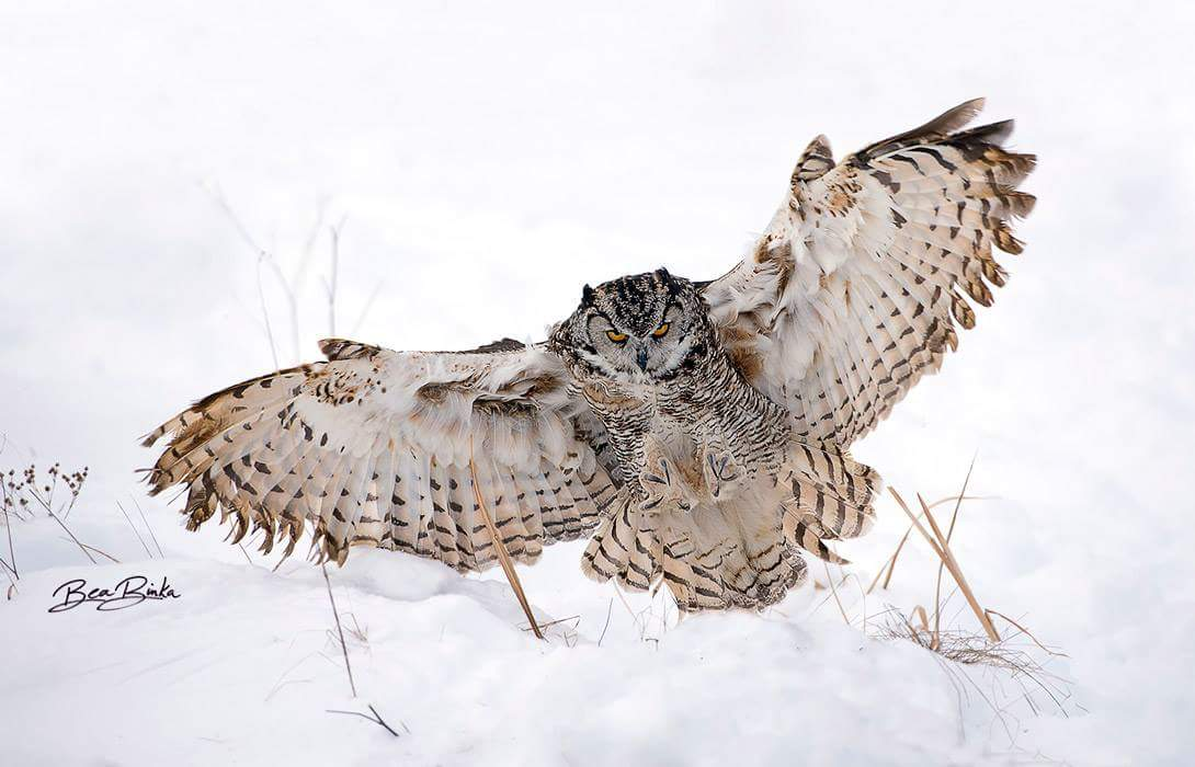 what do great horned owls eat